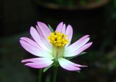 桃红色和黄色波斯菊caudatus 库存照片