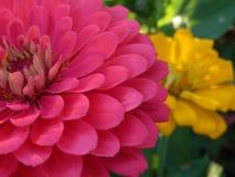 桃红色和黄色百日菊属花在庭院里 免版税库存图片