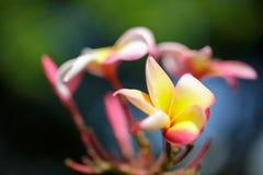 桃红色和黄色羽毛花在庭院里 免版税图库摄影