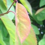 桃红色和绿色色的叶子 库存图片