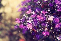 桃红色和紫色花开花,选择聚焦 免版税库存图片