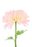 桃红色和黄色菊花 库存图片