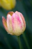 桃红色和黄色郁金香 免版税图库摄影