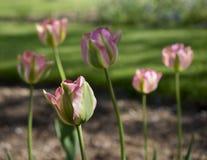 桃红色和绿色郁金香 库存照片