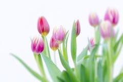桃红色和黄色郁金香 免版税库存照片