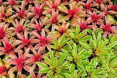 桃红色和绿色bromeliad 免版税库存照片