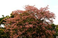 桃红色喇叭树花开花 免版税库存照片