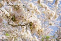桃红色喇叭树花束  库存照片