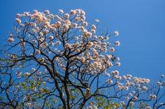桃红色喇叭树 免版税库存图片