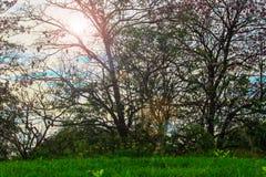 桃红色喇叭灌木和太阳发光 免版税库存照片