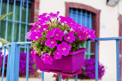 桃红色喇叭花在一个阳台开花在意大利 免版税库存图片