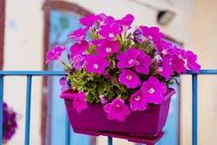 桃红色喇叭花在一个阳台开花在意大利 库存照片