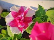 桃红色喇叭花在庭院里 免版税库存图片