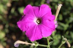 桃红色喇叭花在庭院里 免版税库存照片