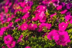 桃红色喇叭花花在一个花园里 库存照片