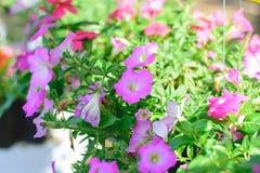桃红色喇叭花花在庭院里 库存照片