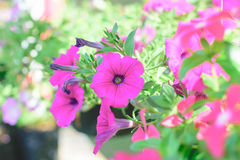 桃红色喇叭花花在庭院里 免版税库存图片