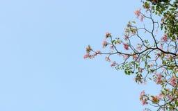 桃红色喇叭花 库存照片