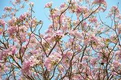 桃红色喇叭花 图库摄影