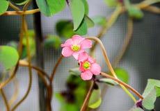 桃红色四叶子三叶草花,绿色叶子三叶草,幸运的标志 免版税库存图片
