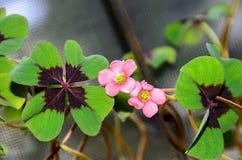 桃红色四叶子三叶草花,绿色叶子三叶草,幸运的标志 免版税库存照片