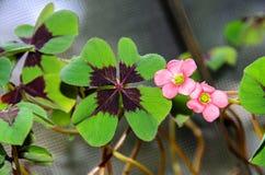 桃红色四叶子三叶草花,绿色叶子三叶草,幸运的标志 库存照片