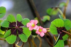 桃红色四叶子三叶草花,绿色叶子三叶草,幸运的标志 库存图片