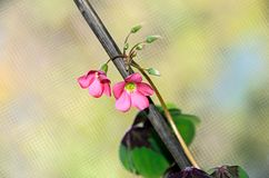 桃红色四叶子三叶草花,绿色叶子三叶草,幸运的标志 图库摄影