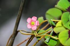 桃红色四叶子三叶草花,绿色叶子三叶草,幸运的symb 免版税库存照片