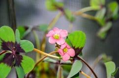 桃红色四叶子三叶草花,绿色叶子三叶草,幸运的symb 图库摄影