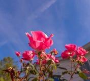 桃红色在与天空的绽放上升了在背景中 免版税库存图片