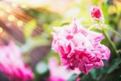桃红色在夏天庭院自然背景的玫瑰花与阳光和bokeh,关闭 桃红色杂种老虎上升了 免版税库存照片