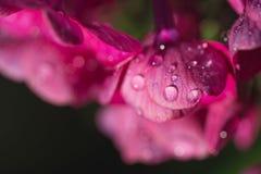 桃红色在新鲜的雨以后开花与水下落的福禄考 仍然1寿命 背景蒲公英充分的草甸春天黄色 Extream特写镜头宏指令射击 免版税图库摄影