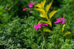 桃红色在有绿色叶子的庭院里上色了有吸引力的花在背景中 库存图片