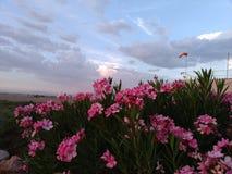 桃红色在沙漠 免版税库存图片