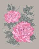 桃红色在灰色背景例证的牡丹玫瑰色花 库存图片