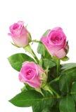 桃红色玫瑰特写镜头 库存照片