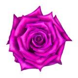 桃红色在白色隔绝的玫瑰花 库存照片