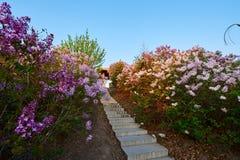 桃红色在盛开开花并且跨步日出 库存照片