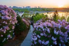 桃红色在盛开开花并且跨步道路日出 库存图片
