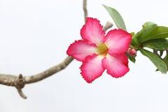 桃红色在石头的沙漠玫瑰色花 免版税库存照片