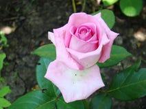 桃红色在绿色叶子背景上升了  桃红色的照片 库存图片