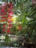 桃红色垂悬的花在庭院里 免版税库存照片