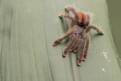 桃红色塔兰图拉毒蛛脚趾 基于密林叶子 在眼睛的重点 免版税库存照片