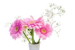 桃红色大丁草在白色背景的一个花瓶开花 库存照片