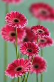 桃红色大丁草照片在绿色背景、宏观摄影和花背景的 免版税库存图片