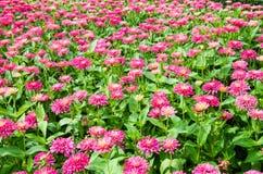桃红色大丁草花。 图库摄影
