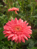 桃红色大丁草花在庭院里 免版税库存图片