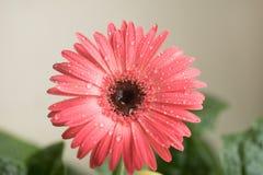 桃红色大丁草花特写镜头的芽 在瓣的露水和水滴 宏指令 海藻 库存照片