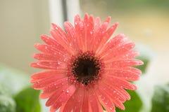桃红色大丁草花特写镜头的芽 在瓣的露水和水滴 宏指令 海藻 免版税库存照片